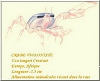 crabe violoniste